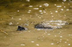 Common Snapping Turtle in Mud. Common Snapping Turtle on Walton County Monroe Georgia pond in mud Stock Image