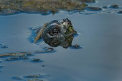Common Snapping Turtle Stock Photos