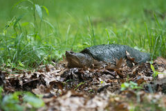 Common snapping turtle Stock Photography
