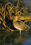 Common Snipe. A common snipe standing in a shallow marsh Stock Photos