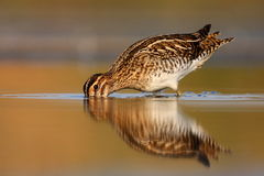 Common snipe Royalty Free Stock Images