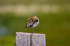 Common Snipe. Preening on fence post Royalty Free Stock Photos