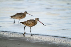 Alaska's Birds Royalty Free Stock Image