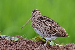 Common Snipe. Stock Image