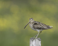 Common snipe Royalty Free Stock Photos