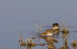 Common Snipe Couple Royalty Free Stock Photography