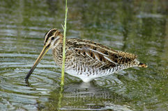 Common snipe feeding Royalty Free Stock Photo