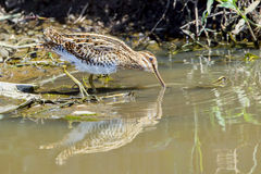 Common snipe, Feeding. Common Snipes are mostly found at a waters edge, eating aquatic insects, worms, small crustaceans and mollusks. Due to the structure of Royalty Free Stock Photos