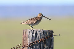 Common Snipe on fencepost Royalty Free Stock Image