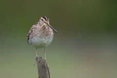 Common Snipe (Gallinago gallinago). The Common Snipe (Gallinago gallinago) a small wader living in a wet meadow. Likes to sit on fence poles when hunting, in royalty free stock image