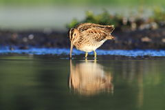 Common Snipe Gallinago gallinago bath Royalty Free Stock Images