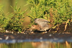 Common Snipe Gallinago gallinago bath Royalty Free Stock Photography