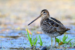 Common snipe. Gallinago gallinago. Royalty Free Stock Images