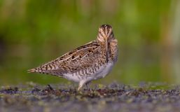 Common Snipe - Gallinago gallinago Stock Photos