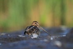 Common Snipe Gallinago gallinago Royalty Free Stock Photography