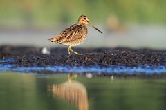 Common Snipe Gallinago gallinago Stock Photos