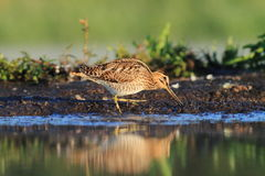 Common Snipe Gallinago gallinago Stock Image