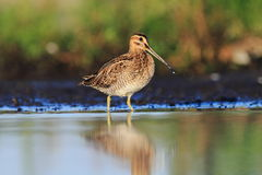 Common Snipe Gallinago gallinago Royalty Free Stock Photo
