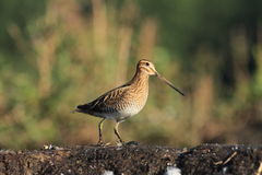 Common Snipe Gallinago gallinago Stock Images