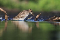 Common Snipe Gallinago gallinago Stock Photo