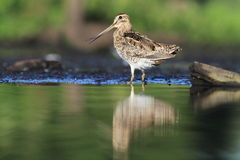 Common Snipe Gallinago gallinago Royalty Free Stock Images