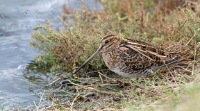 Common Snipe Gallinago gallinago feed the pond. The pattern is similar to grass royalty free stock image