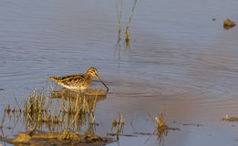 Common Snipe Stock Images