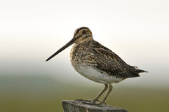 Common Snipe Stock Photography