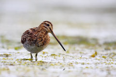 Common Snipe (Gallinago gallinago). Stock Photography