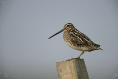 Common snipe, Gallinago gallinago Royalty Free Stock Photos