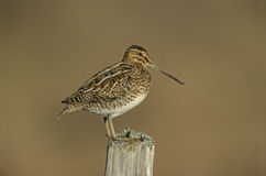 Common snipe, Gallinago gallinago Stock Photos