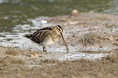 Common snipe, Gallinago gallinago Royalty Free Stock Image