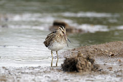 Common snipe, Gallinago gallinago Stock Photo