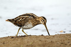 Common snipe, Gallinago gallinago Royalty Free Stock Images