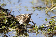 Common snipe, Gallinago gallinago Royalty Free Stock Photo