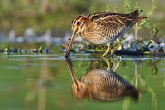 Common Snipe - Gallinago gallinago wader feeding in the green water, lake. In the south or Moravia Royalty Free Stock Images