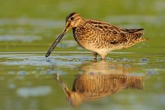 Common Snipe - Gallinago gallinago wader feeding in the green water, lake. In the south or Moravia Royalty Free Stock Photography