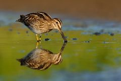 Common Snipe - Gallinago gallinago wader feeding in the green water, lake. In the south or Moravia Royalty Free Stock Image