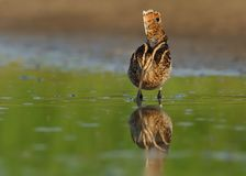 Common Snipe - Gallinago gallinago wader feeding in the green water, lake. In the south or Moravia Stock Photos
