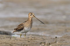The common snipe (Gallinago gallinago) is walking on a water Royalty Free Stock Photo