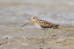 The common snipe (Gallinago gallinago) is walking on a water Stock Images