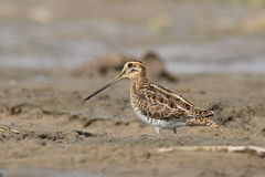 The common snipe (Gallinago gallinago) is walking on a water Royalty Free Stock Image