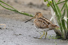 The common snipe (Gallinago gallinago) is walking on a water Royalty Free Stock Photography