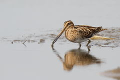 The common snipe (Gallinago gallinago) is walking on a water Stock Photos