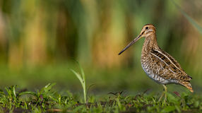 Common Snipe - Gallinago gallinago Royalty Free Stock Photography