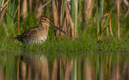 Common Snipe - Gallinago gallinago Royalty Free Stock Photo