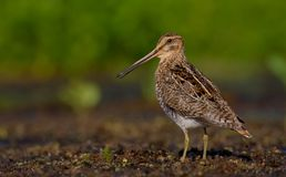 Common Snipe - Gallinago gallinago Royalty Free Stock Image