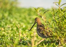 Common Snipe Royalty Free Stock Image