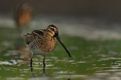 Common Snipe - Gallinago gallinago wader feeding in the green water, lake in Moravia. Common Snipe - Gallinago gallinago wader feeding in the green water, lake Royalty Free Stock Photography