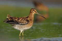 Common Snipe - Gallinago gallinago wader feeding in the green water, lake. In the south or Moravia Royalty Free Stock Photos